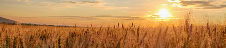 2021, istock, 800, wheat.jpg
